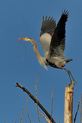 Great Blue Heron With Twig Original by Hella Zaiser