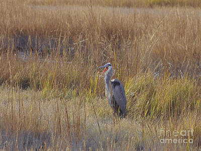 Photograph - Great Blue Heron Yawning by Cindy Lee Longhini