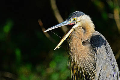 Photograph - Great Blue Heron Yawning by Jim Boardman