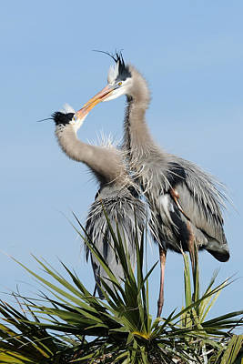 Photograph - Great Blue Herons At Nest Kissing by Bradford Martin