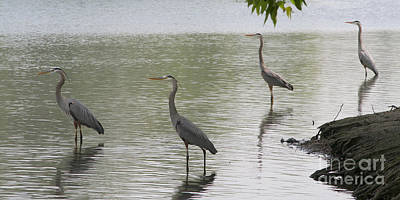 Bob Wade Photograph - Great Blue Herons by Bob and Jan Shriner