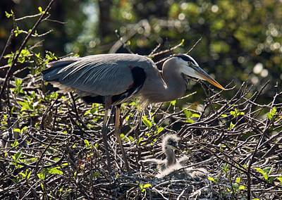Waterbirds Photograph - Great Blue Herons by Bob Gibbons