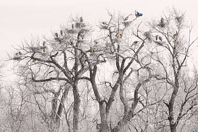 Bo Insogna Photograph - Great Blue Herons Colonies  by James BO  Insogna