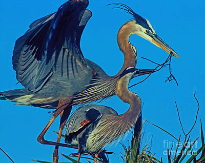 Great Blue Herons - Nest Building Art Print by Larry Nieland