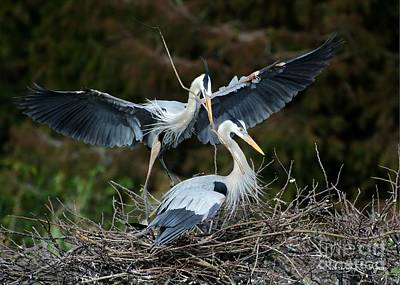 Great Blue Herons Nesting Art Print