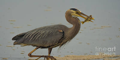 Great Blue Herron Eating Fish Art Print