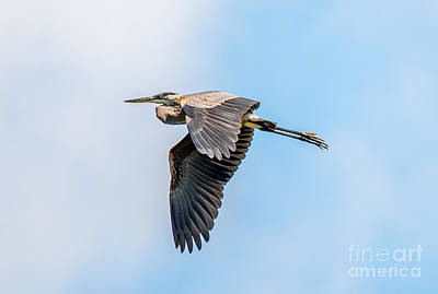 Photograph - Great Blue In Fight by Cheryl Baxter