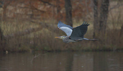 Great Blue In Flight Print by Roy Williams