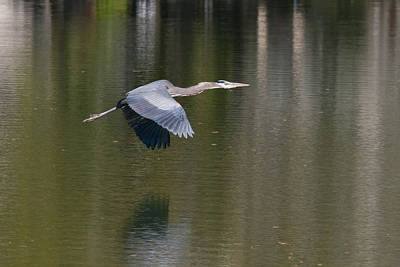 Photograph - Great Blue Over Green by Paul Rebmann