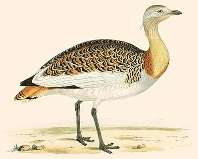 Great Outdoors Drawing - Great Bustard by Beverley R Morris