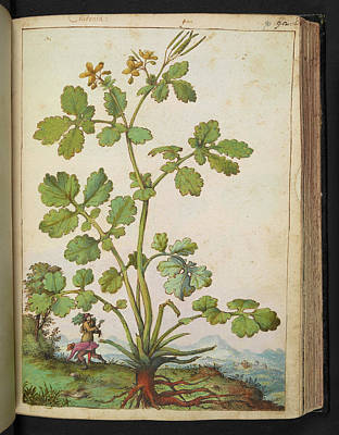 Gathering Photograph - Great Celandine (chelidonium Majus) by British Library