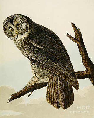 Colored Owl Painting - Great Cinereous Owl by John James Audubon
