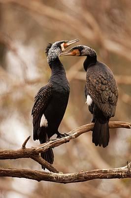 Great Cormorant (phalacrocorax Carbo) Print by Photostock-israel