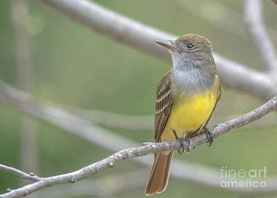 Photograph - Great Crested Flycatcher by Cheryl Baxter