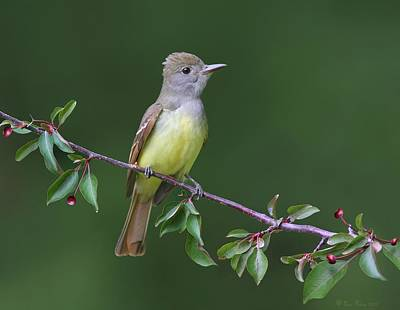 Art Print featuring the photograph Great Crested Flycatcher by Daniel Behm