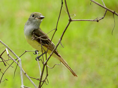 Photograph - Great Crested Flycatcher by Grace Dillon