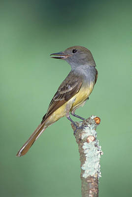 Flycatcher Photograph - Great Crested Flycatcher Myiarchus by Millard H. Sharp