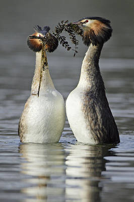 Great Crested Grebe Courtship Art Print by Duncan Usher