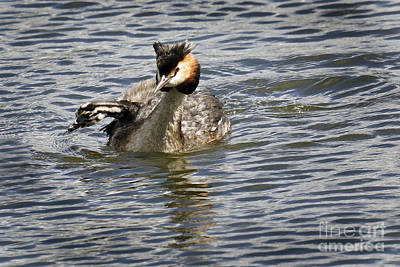 Photograph - Great Crested Grebe by Inge Riis McDonald