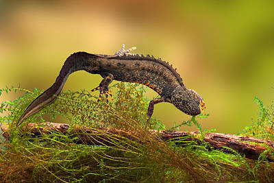 Newts Photograph - Great Crested New Or Water Dragon by Dirk Ercken