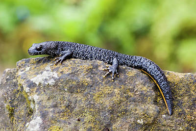 Newts Wall Art - Photograph - Great Crested Newt by John Devries/science Photo Library