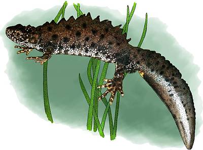 Photograph - Great Crested Newt by Roger Hall