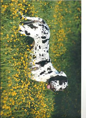Harlequin Great Dane Photograph - Great Dane Buttercup Nose In The Field by Jenny Crooks
