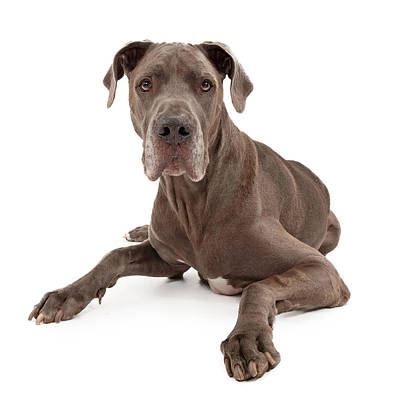 Mastiff Photograph - Great Dane Dog Isolated On White by Susan Schmitz