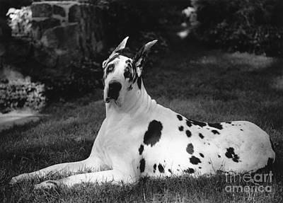 Photograph - Great Dane by Margaret Miller
