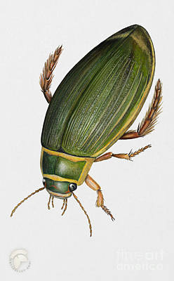 Animals Paintings - Great Diving Beetle Dytiscus marginalis - Dytique Borde - escarabajo buceador - keltalaitasukeltaja by Urft Valley Art \ Matt J G  Maassen-Pohlen