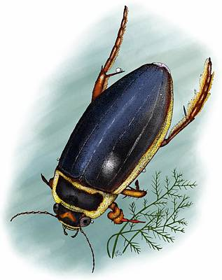 Photograph - Great Diving Beetle by Roger Hall