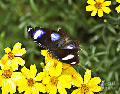 Tickseed Photograph - Great Eggfly Butterfly by Diane E Berry