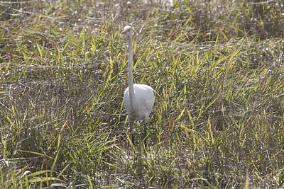 Photograph - Great Egret - 0004 by S and S Photo
