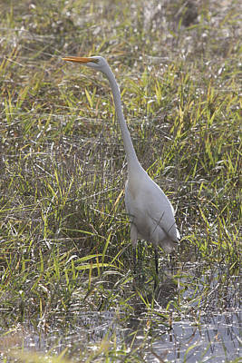 Photograph - Great Egret - 0005 by S and S Photo