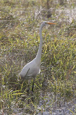 Photograph - Great Egret - 0006 by S and S Photo
