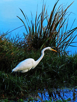 Photograph - Great Egret 2 by Deborah Smith