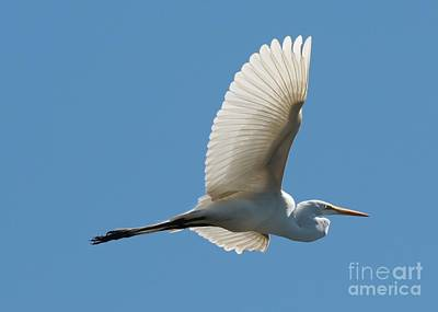 Photograph - Flying Great Egret by Carol Groenen