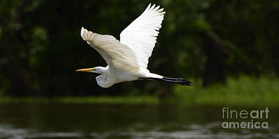 Amazon River Photograph - Great Egret Amazon River by Bob Christopher