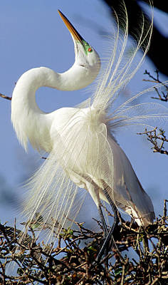 Photograph - Great Egret Ardea Alba In Courtship by Millard H. Sharp
