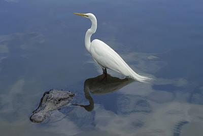 Great Egret Atop American Alligator Art Print by Heidi & Hans-Juergen Koch