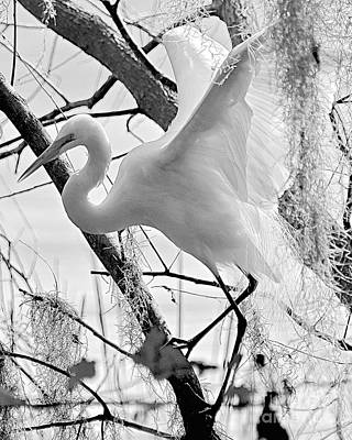 Photograph - Great Egret Black And White by Carol  Bradley
