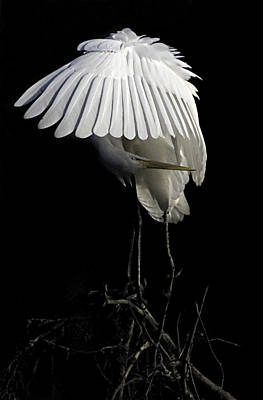 Great Egret Bowing Art Print