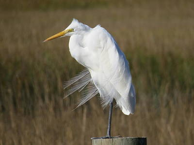 Photograph - Great Egret Breezy Feathers by Ellen Meakin