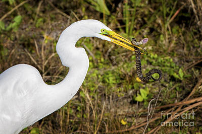 Photograph - Great Egret Captures Snake by Ronald Lutz