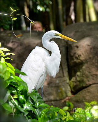 Photograph - Great Egret by Carol  Bradley
