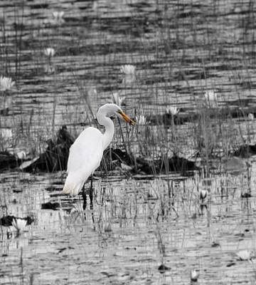 D Wade Photograph - Great Egret Color by Dan Sproul