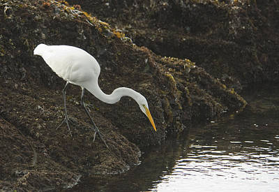 Photograph - Great Egret by Dan Suzio