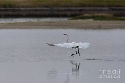 Photograph - Great Egret Dancing by Terry Cotton