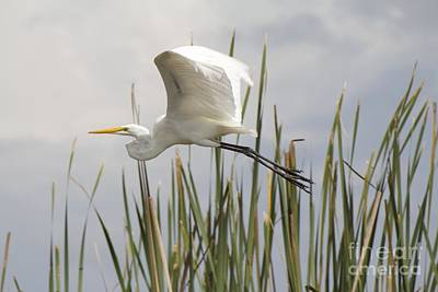 Photograph - Great Egret by David Grant