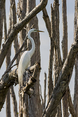 Photograph - Great Egret by Ed Gleichman